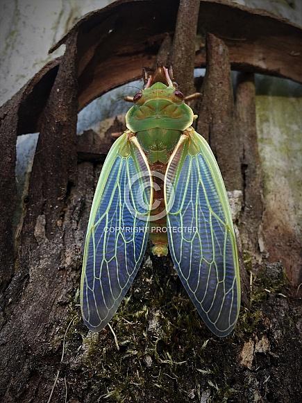 Cicada Wings
