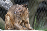 Fossa at the zoo after eating on the rock