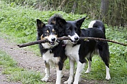 Border collies playing with stick