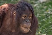 Young Bornean Orangutan