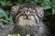 Pallas cat kitten