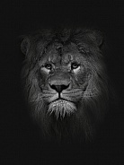 African Lion Black&White