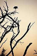Silhouette of a Marabou Stork - Botswana