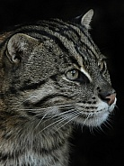 Fishing cat close up