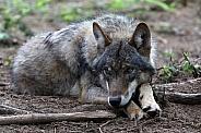 Eurasian wolf
