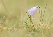 Harebell with Dew