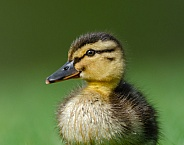 Mallard chick portrait