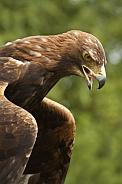 Golden Eagle (Aquila chrysaetos) - Scotland