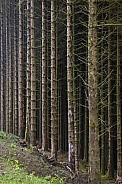 Forest of pine trees - Scotland