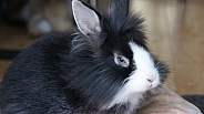 Black and White pet Rabbit.