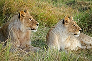 Pair of Young Lions