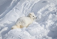 Arctic Fox in heavy snow