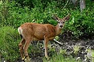 Mule Deer - bucks with velvet covered antlers