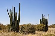 Giant Cactus - Damaraland - Namibia