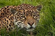 Jaguar Hiding In Grass