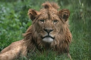 Young African Lion, close up