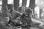 Sumatran tiger with cubs