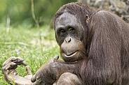 Bornean Orangutan Sitting