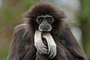 Relax Gibbon