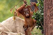 Baby Sumatran Orangutan Playing