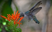 Hummingbird - Fledgling