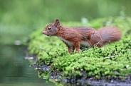 cute Eurasian red squirrel (sciurus vulgaris) in the forest