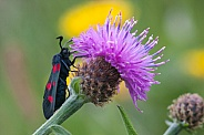 Scotch Burnet day moth