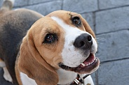 Close up of a Beagle