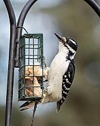Female Hairy Woodpecker at a Suet Feeder