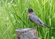 American Robin Side Pose