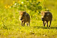 Young wild boar pair