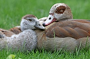 Egyptian goose mother with cute duckling