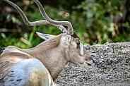 Addax white Antelope