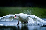 Swan taking off from the water