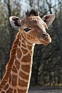 Giraffe Calf Close Up