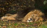 Asiatic Lion