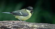 Juvenile,Great tit