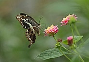 Constantine's Swallowtail