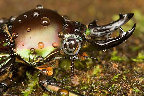 Rainbow stag beetle with water drops.