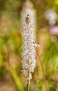 Bulbinella caudafelis wildflower