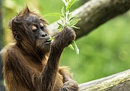 Young Sumatran Orangutan With Leaves