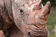 African white rhino, close up