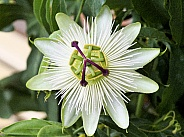 Passionflower white