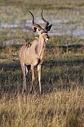 Greater Kudu Antelope - Namibia