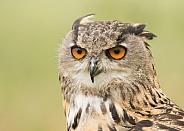 European Eagle Owl Portrait