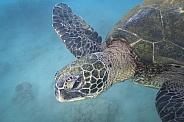 Green Sea Turtle (wild)