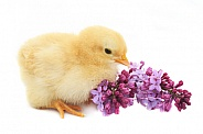 Chick and Lilacs
