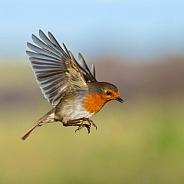 Hovering Robin
