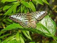 Andaman Clipper Butterfly (Parthenos sylvia roepstorfii)