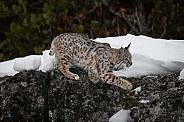 Bobcat Kitten